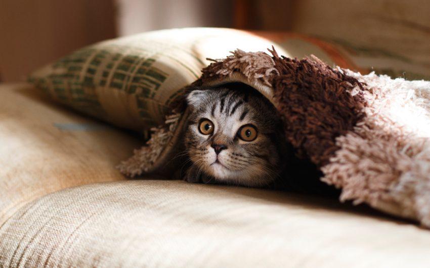 Poes liggend onder deken